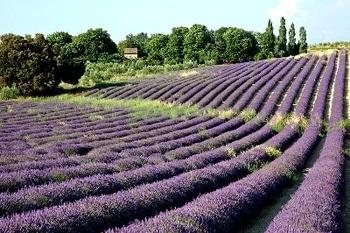 普罗旺斯(法国东南地区,薰衣草之乡)